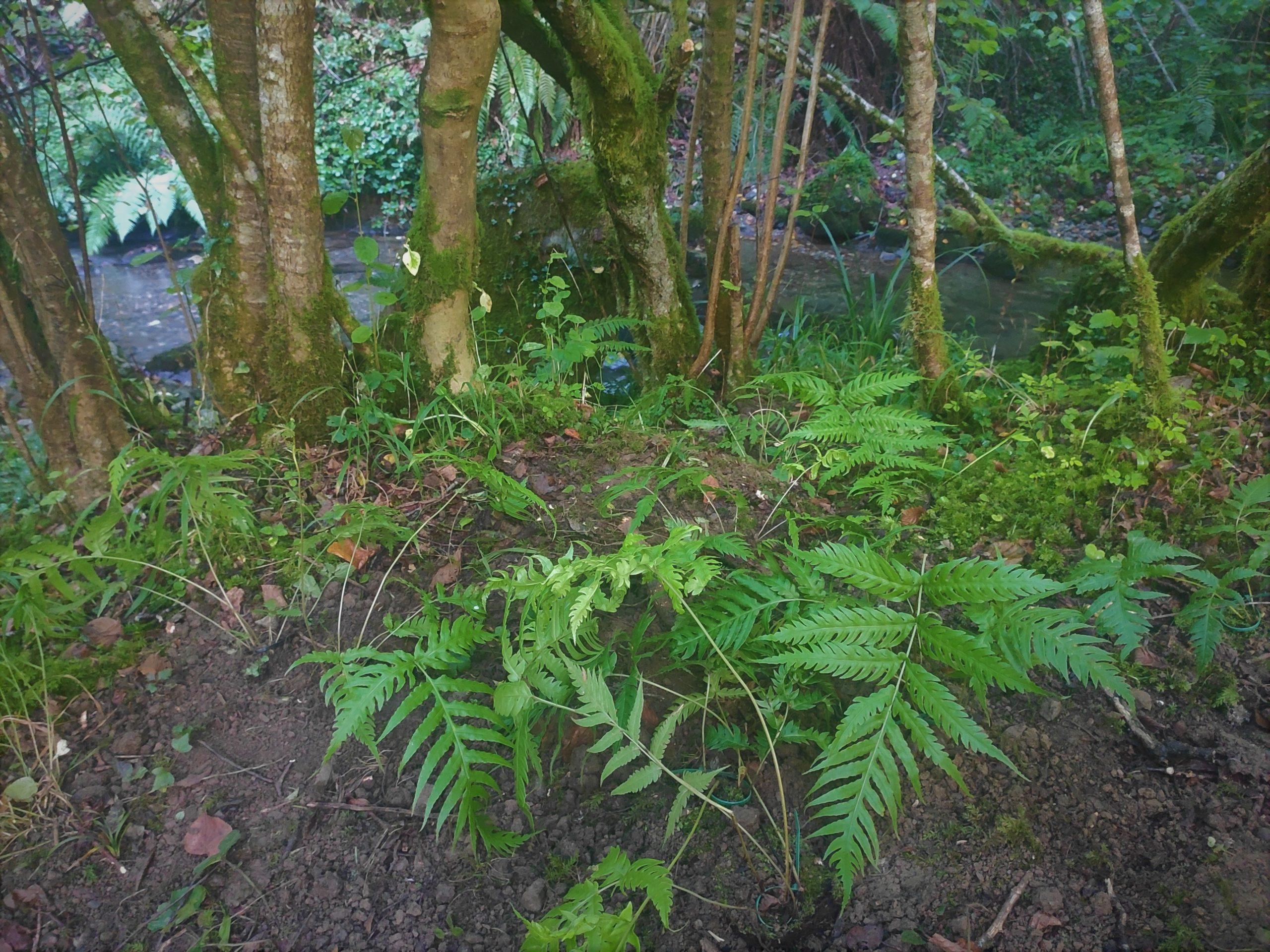 Bosque de ribera con nuevos ejemplares de Woodwardia radicans
